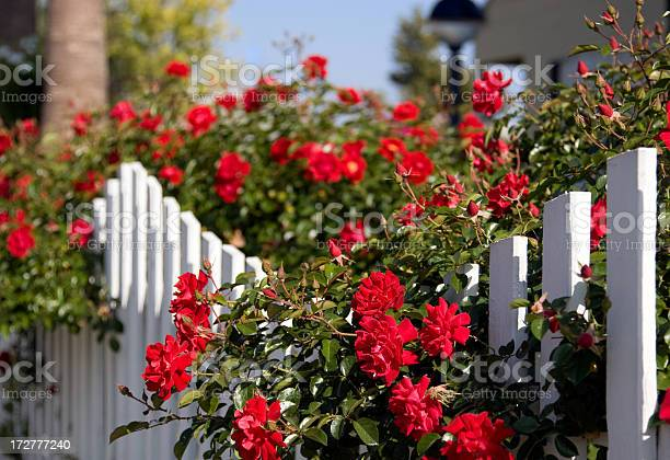 White picket fence and red roses picture id172777240?b=1&k=6&m=172777240&s=612x612&h=g qsz9mijpgdypjyrqazfp1cuugsyncodtyrd48zb48=