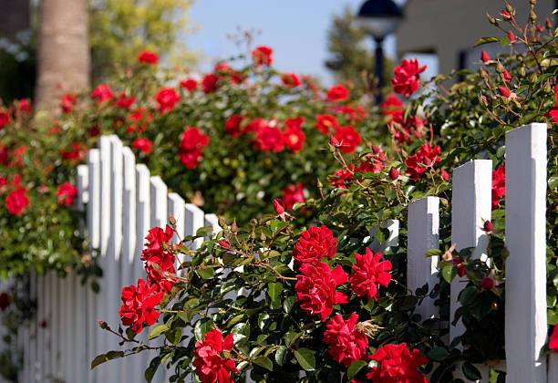 White picket fence and red roses picture id172777240?b=1&k=6&m=172777240&s=612x612&w=0&h=oafpdtmg miag3vdzcnyhd63yktbymiz75l5stjfpte=