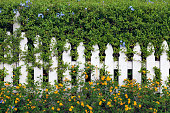 White Picket Fence embedded in Hedge with blue and orange flowers protruding