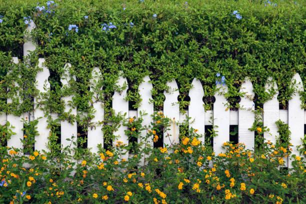 wit piket hek ingebed in hedge met blauwe en oranje bloemen uitsteekt - pauwenkers stockfoto's en -beelden