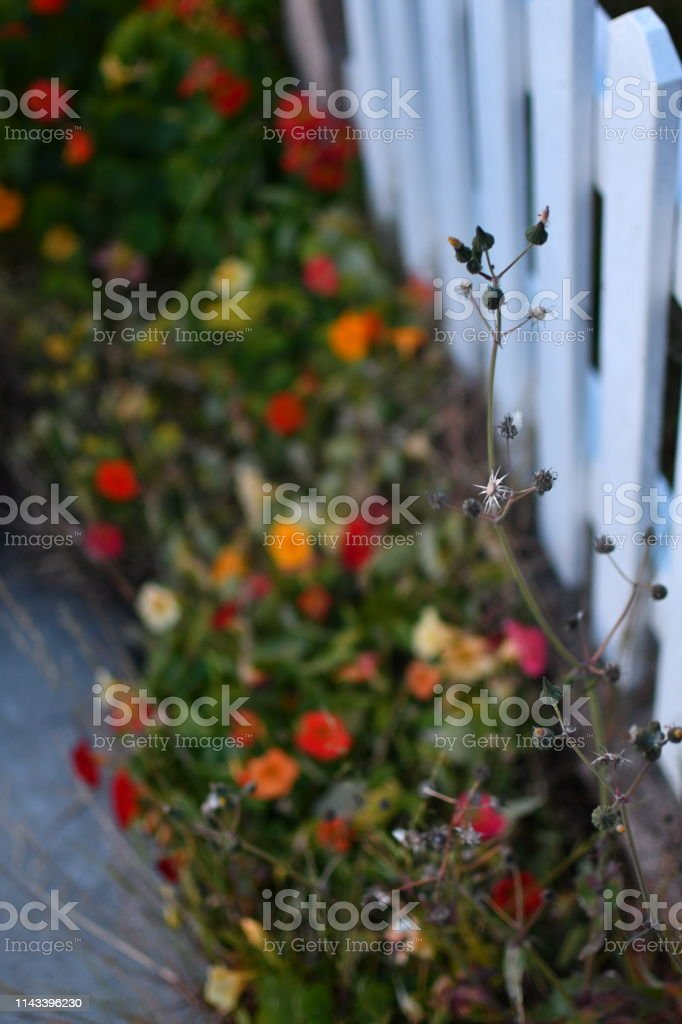 White Picket Fence with Weeds and Colorful Flowers in Background stock photo