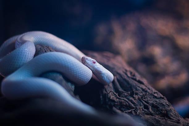 Blanc White - Photo
