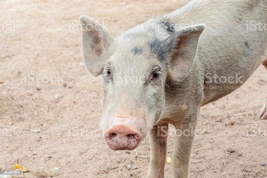 white pig stock photo