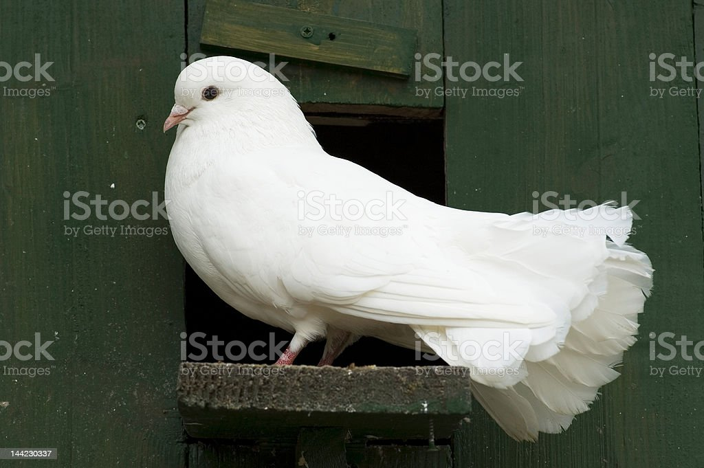 White Pigeon Guarding His House stock photo