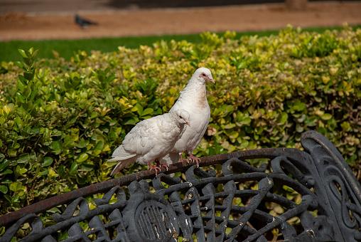 White pigeon in Plaza de America, Seville, Spain