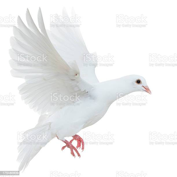 White pigeon isolated picture id175485839?b=1&k=6&m=175485839&s=612x612&h=  znkjwwz4a 89edyzc4an2rto2bv20rniusrmuhfw8=