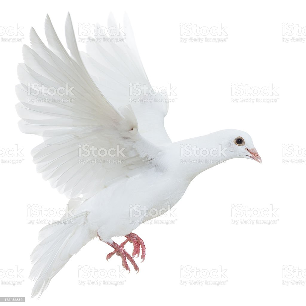 White pigeon isolated stock photo