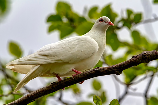 white pigeon on a tree branch