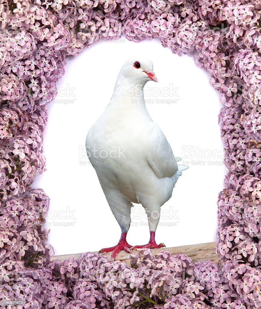 white pigeon on perch with flowering lilac tree background stock photo
