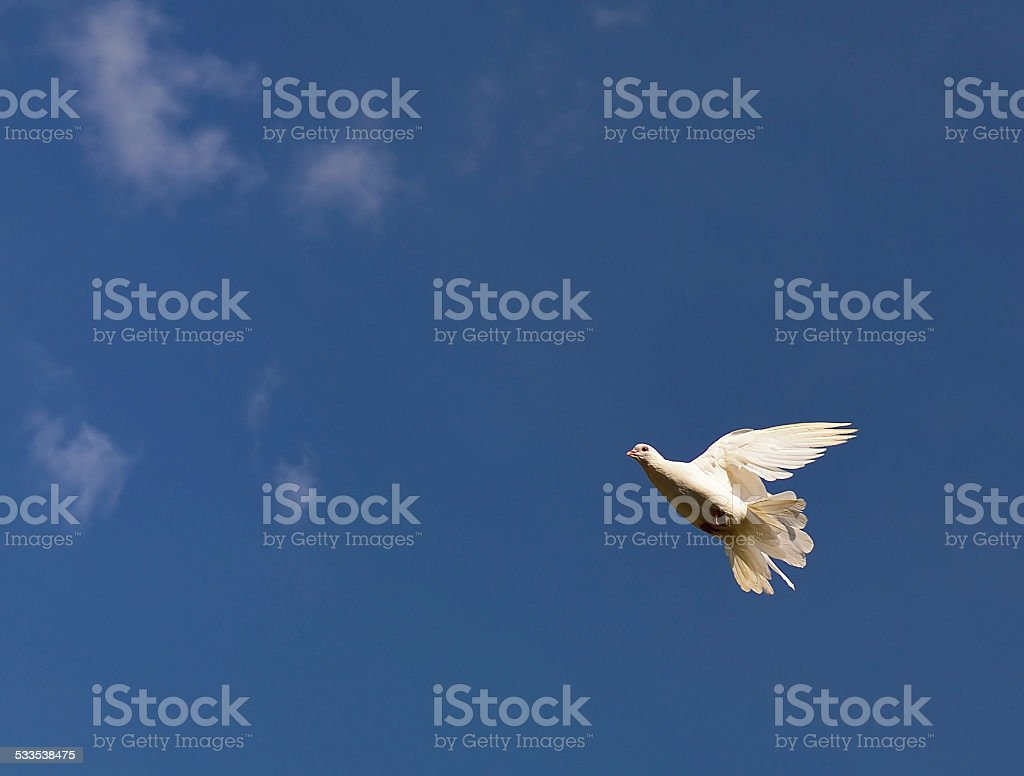 White pigeon on the sky. stock photo