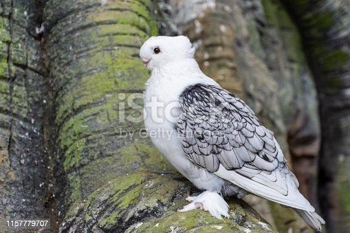 White Pigeon or Dove known as the Oriental Frill Pigeon a fancy domestic pigeon breed for showing and breeding. Feathered feet. (Columba livia)