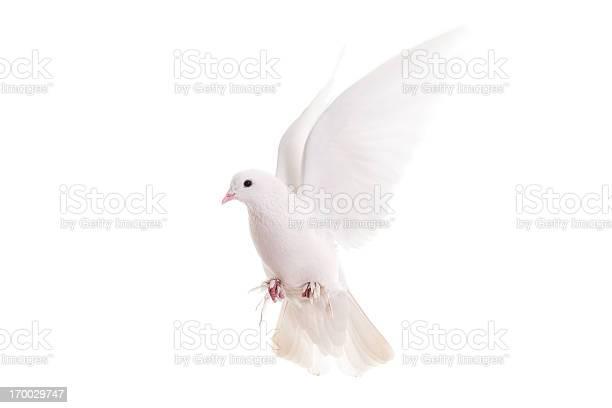 White pigeon picture id170029747?b=1&k=6&m=170029747&s=612x612&h=4bu6 24hmevraqaixhfl5ypnhmibl9gwl6fzepmbpjc=