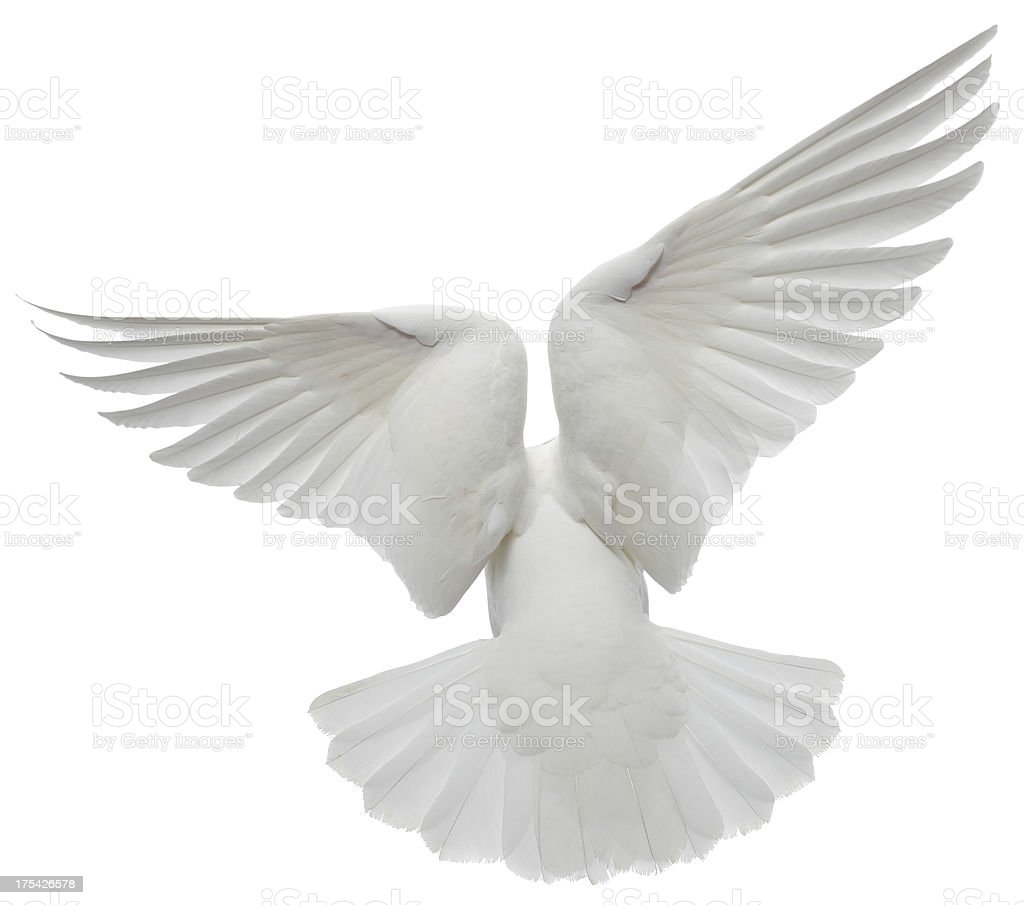 White Pigeon stock photo