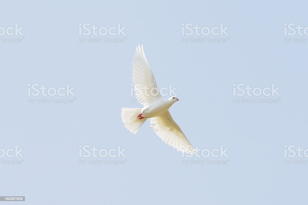White pigeon royalty-free stock photo