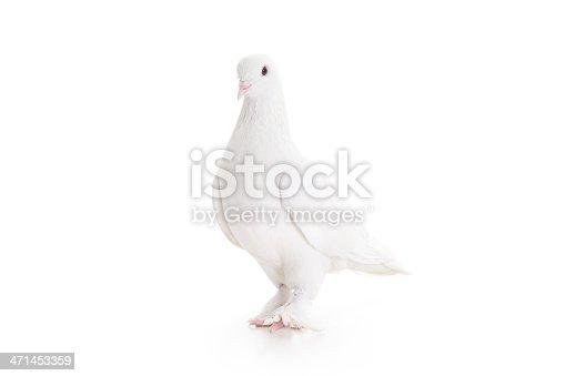 White pigeon, blurred motion