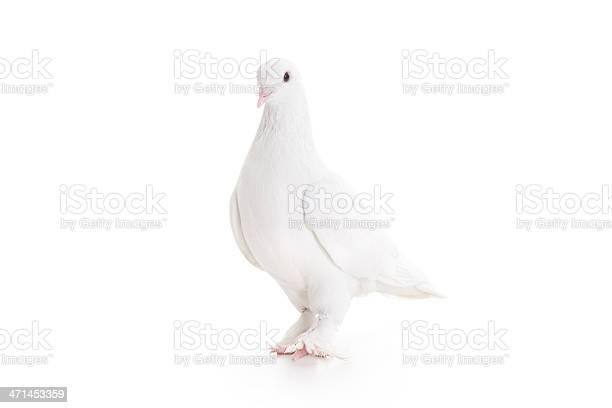White pigeon picture id471453359?b=1&k=6&m=471453359&s=612x612&h=zhwsonpd9cnmh2uma1alef93t pxahsws5ffdlq8gpy=