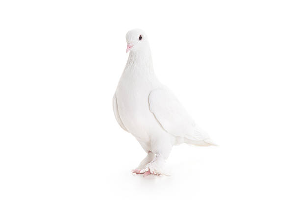 White pigeon White pigeon, blurred motion pigeon stock pictures, royalty-free photos & images