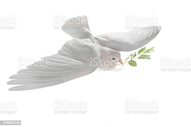 White pigeon picture id479002240?b=1&k=6&m=479002240&s=612x612&h=zicf83ik5ssrfjn5 vdikvs3xx8tdxvqkneu8e4yt8q=