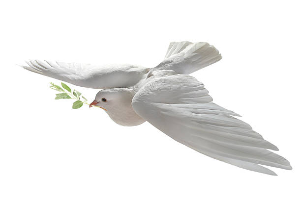white pigeon - symbols of peace stock pictures, royalty-free photos & images