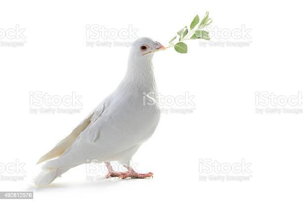 White pigeon picture id492812576?b=1&k=6&m=492812576&s=612x612&h=cuajvo2knn ch6v vewoprgmw0gjlarremir6e2wk1o=
