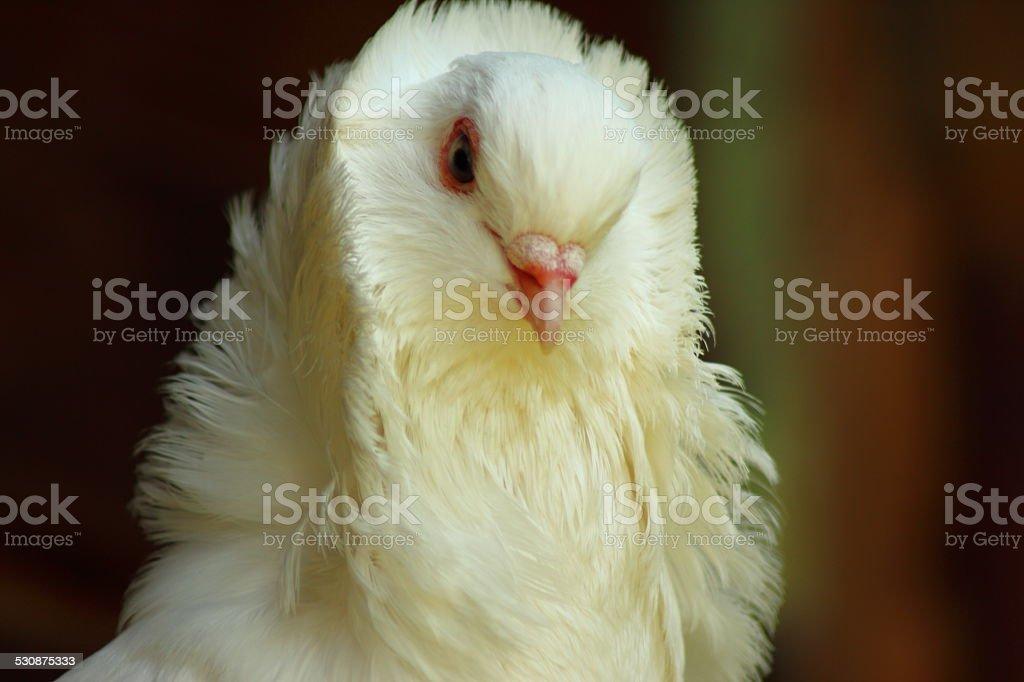 Weiße Pigeon – Foto