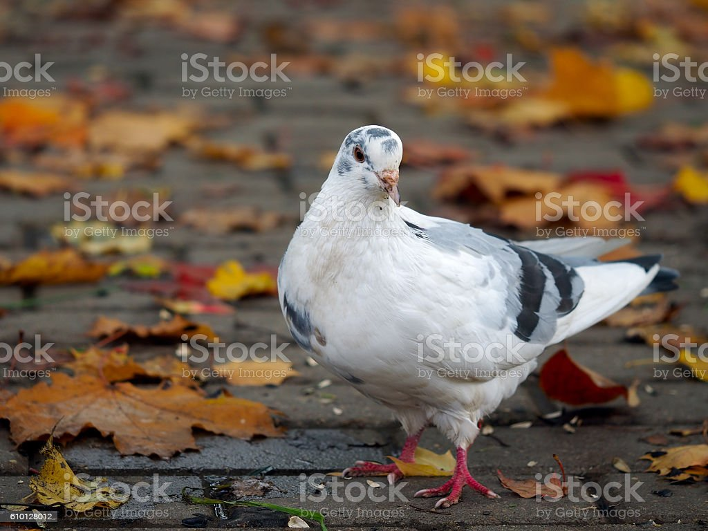White pigeon walking on the footpath in the park stock photo