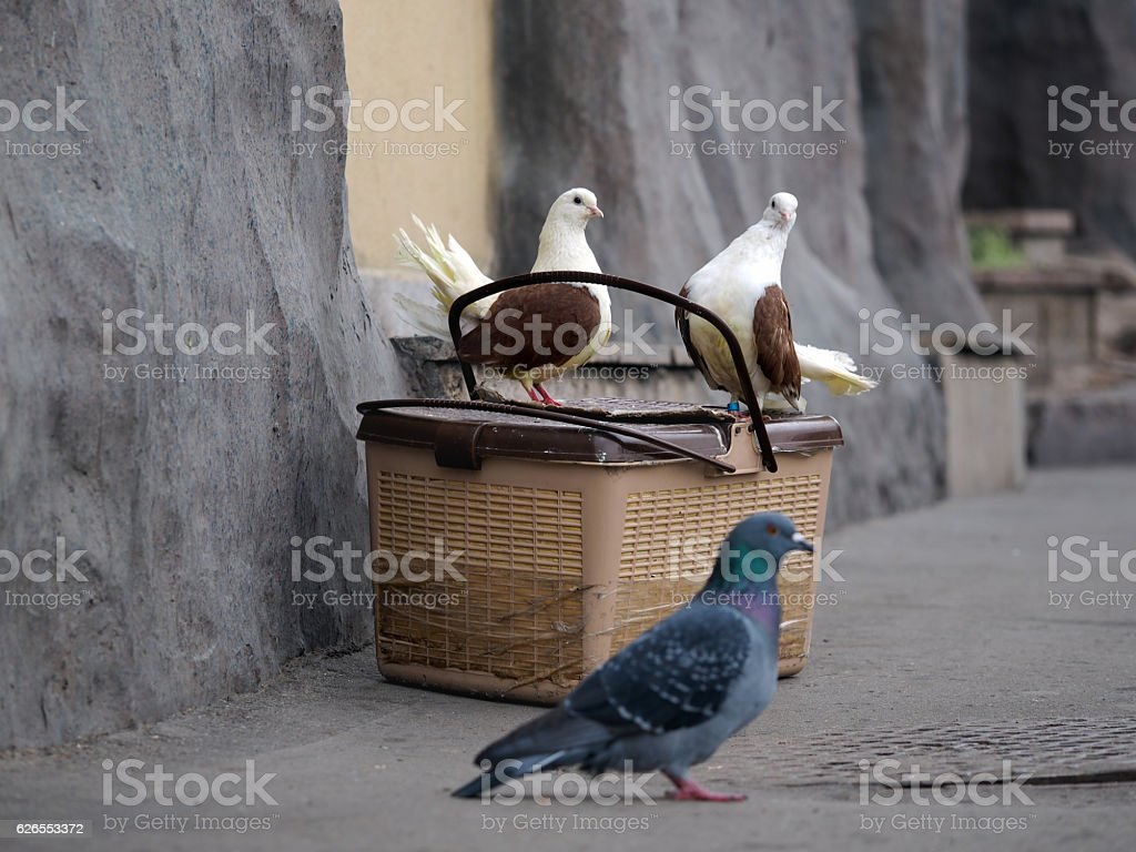 White pigeon with brown wings sitting stock photo