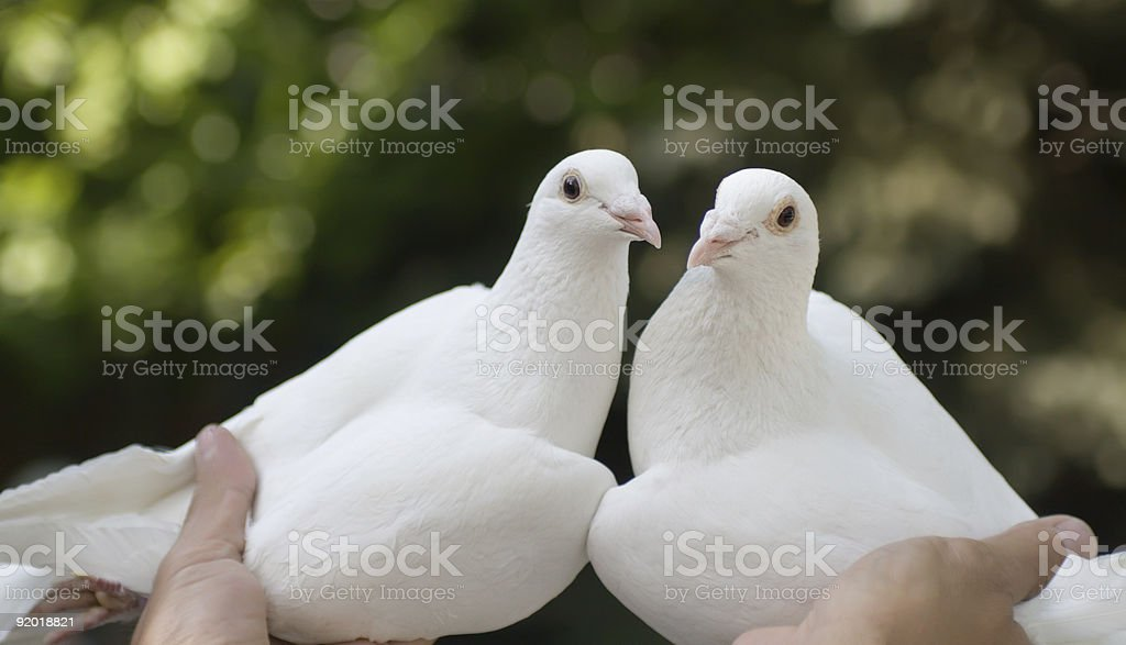White pigeons in hands royalty-free stock photo