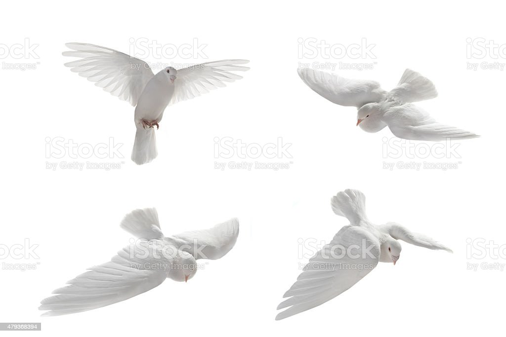 white pigeons stock photo