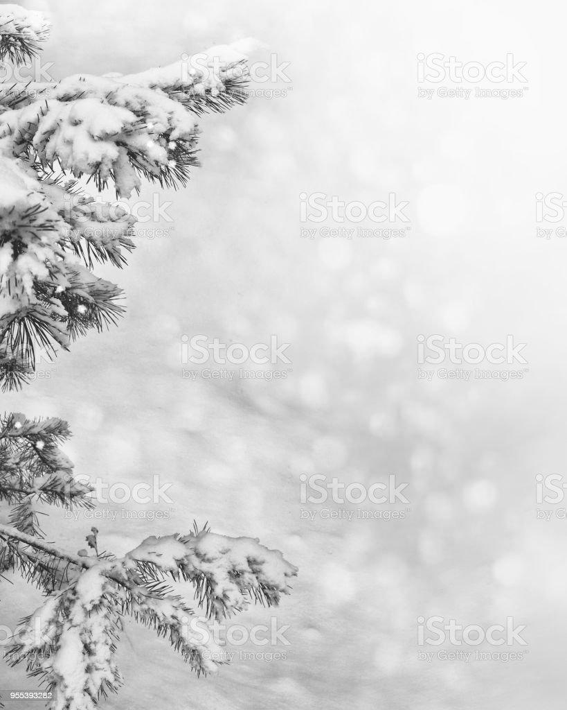 White pine branch. - Zbiór zdjęć royalty-free (Biały)