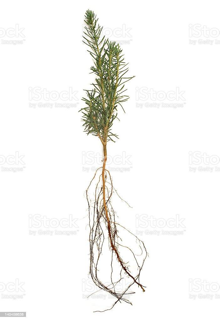 White Pine Seedling royalty-free stock photo