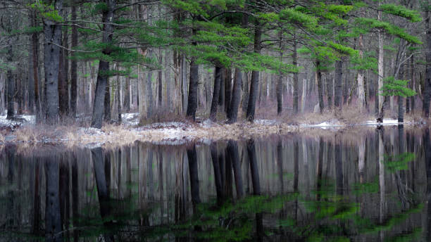 White Pine Tree Reflection stock photo