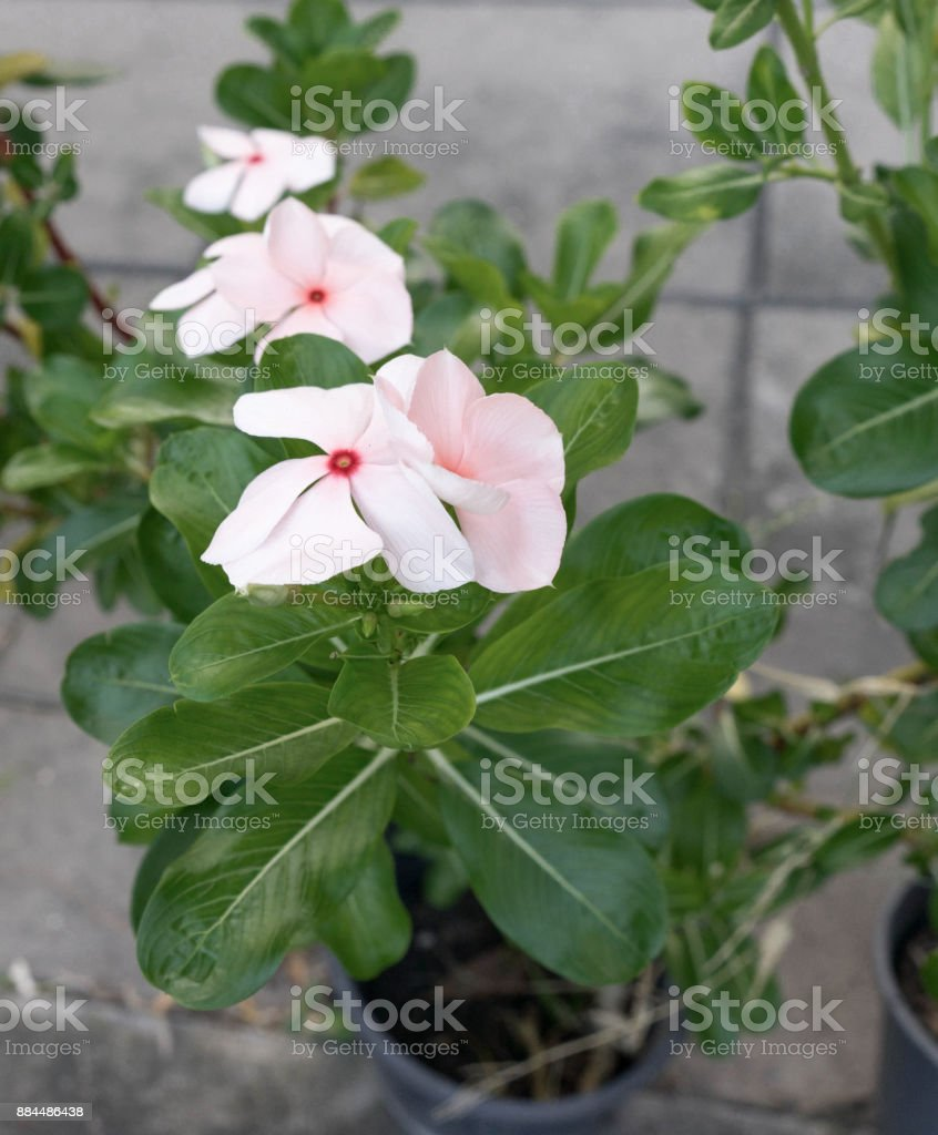 white pink flower from top view stock photo