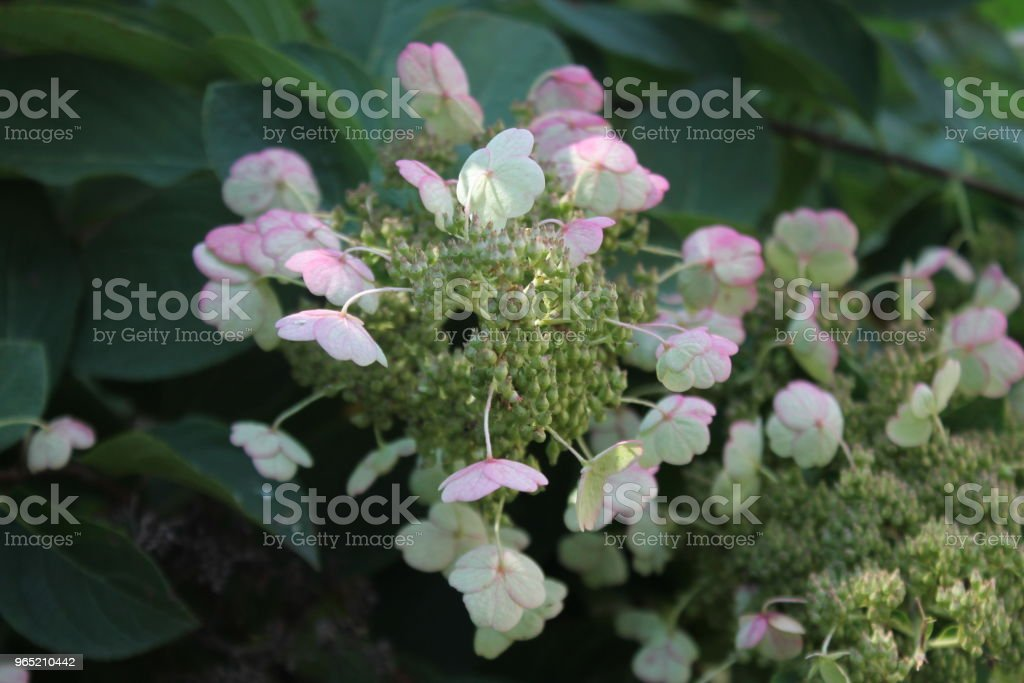 White pink flowers royalty-free stock photo