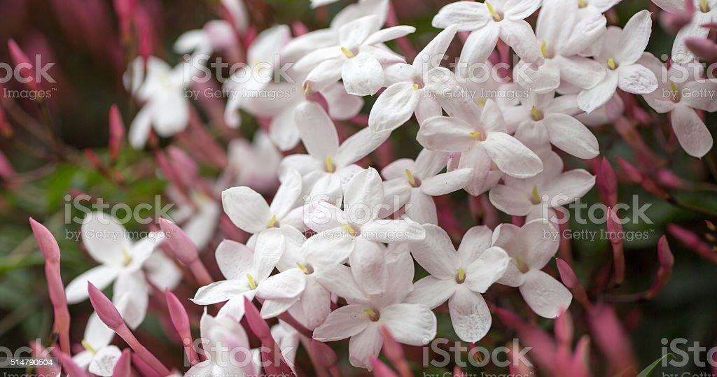 White & Pink Jasmine - Jasminum polyanthum stock photo
