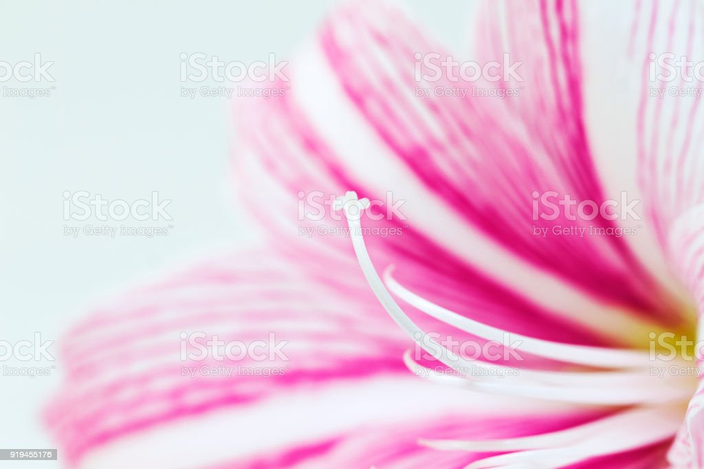White pink lily flower macro photo. Floral feminine banner template with text place. stock photo
