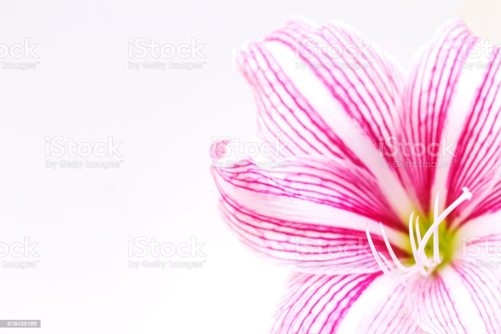 White pink lily flower photo banner. Gentle feminine banner template. White lily wallpaper. stock photo