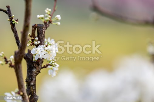 istock White plum blossom or Japanese apricot flower with beatiful bokeh. 1210328254