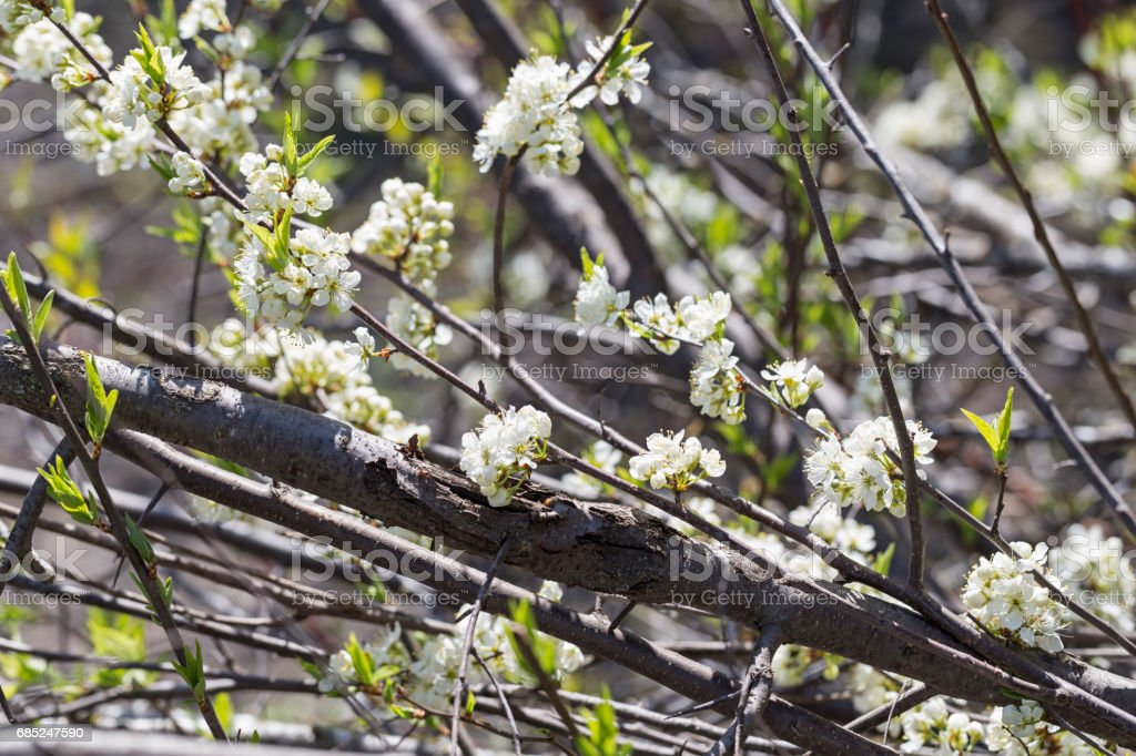 White Plum Blossoms royalty-free stock photo