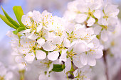 istock White plum flowers close-up on a background of blue sky. Blooming plum. Tenderness. Macro. Springtime. 1254008536