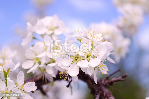 White plum flowers close-up on a background of blue sky. Blooming plum. Tenderness. Macro. Springtime.