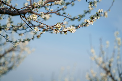 White plum flowers close-up on a background of blue sky.