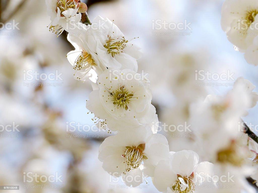 Prune fleurs blanches photo libre de droits