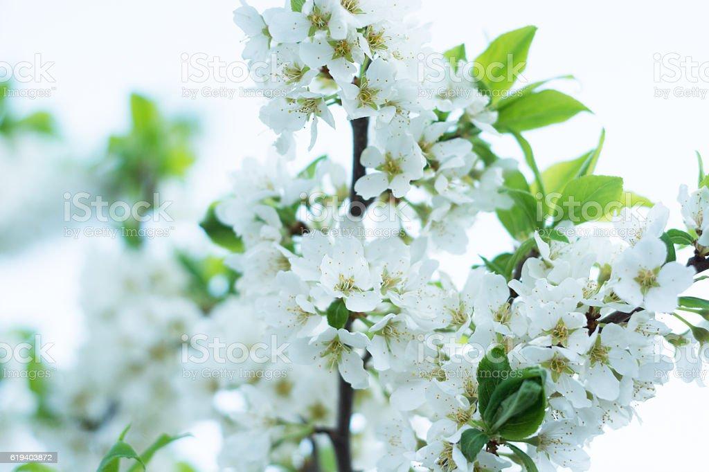 White plum tree blossoms, closeup with shallow depth of field. - foto de acervo