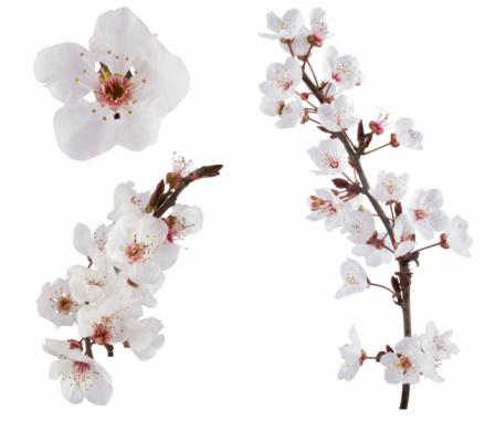 White plum tree flower design elements on white background