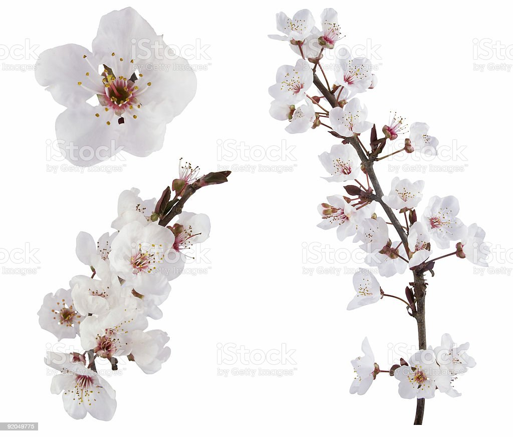 White plum tree flower design elements on white background stock photo