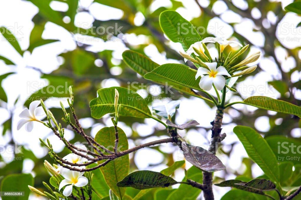 White Plumeria flower blossom on the branch tree. stock photo