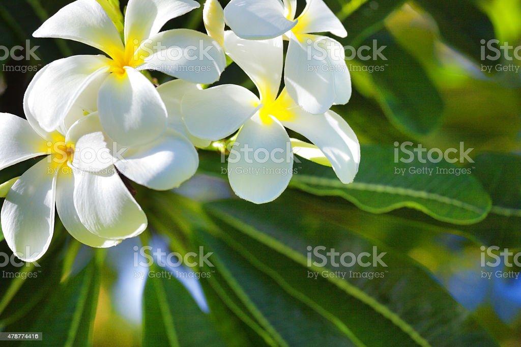 White plumeria flower in nature of kauai hawaii stock photo more white plumeria flower in nature of kauai hawaii royalty free stock photo mightylinksfo