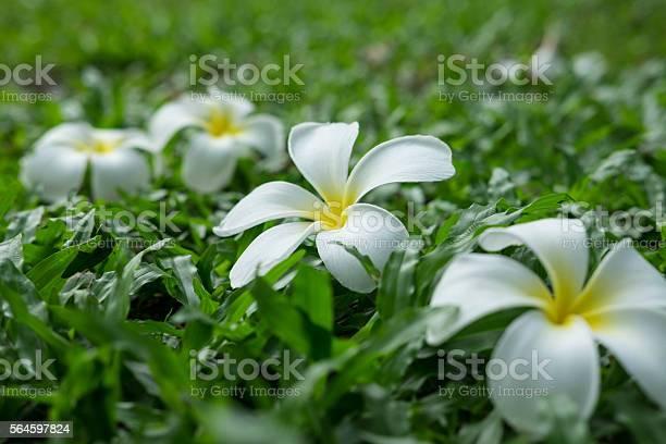 White plumeria flower on grass field picture id564597824?b=1&k=6&m=564597824&s=612x612&h=tsimrht27ge hyf4 r6qewtr smilmkihuyzbu zgic=