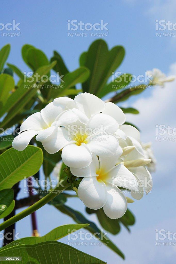 white plumeria flower royalty-free stock photo